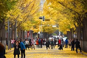 安排!银杏叶还没黄,青年北路的马路已经美得不像样了!附(夜间视频)