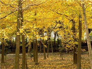 金秋时节的银杏树,金黄满地恍如童话故事,简直不能再美了!