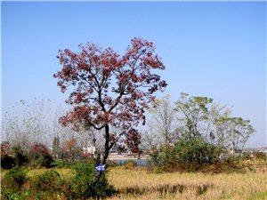 乌桕树,乡村游的金字招牌(图)