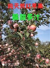 不吃苹果的人,吃过我家的苹果之后,从此就吃苹果了