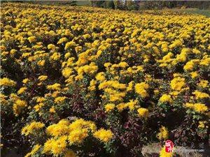 旬阳县甘溪镇开展首届千亩菊花节开园迎宾活动
