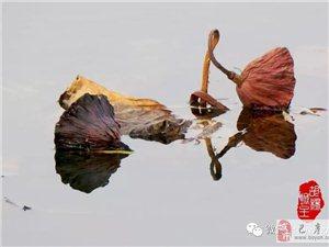 苏城巴彦摄影之荷处有风骨-安志伟