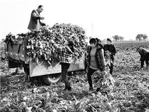 文水县4000亩芥菜获得丰收
