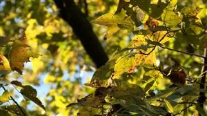 """会""""变色""""的树!丰都境内惊现树龄超500年""""枫树王""""..."""
