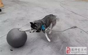 网友嫌弃二哈拆家给它买了个瑜伽球让狗子玩儿,没想到一分钟过后