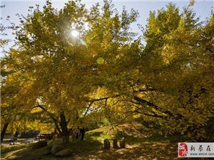 �M城�M��S金甲,千年�y杏谷,�S州洛�的自然景�^