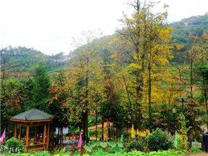 塘坝那颗千年银杏树下一片金黄,吸引了无数游客前往观赏!