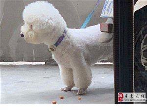 千元寻找狗狗:昨天比熊犬在长宁宾馆附近走失,大家帮忙留意一下,2千元作为酬谢!