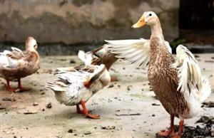 """永丰派出所破获一起抢劫案---三个老汉不仅""""煮熟""""的鸭子飞了,还反被拘留"""