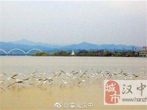 海鸥在汉中天汉湿地公园翩翩飞