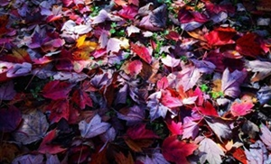 跟风体验下本地红叶和银杏