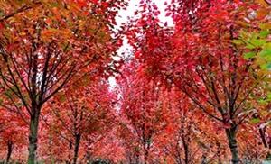 广汉最大的枫叶观赏地