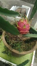 图:盆种火龙果