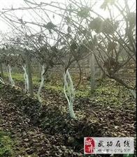 【科普武功】猕猴桃冬季管理技术:冬季猕猴桃树如何防冻?