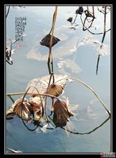 桦西湖残荷