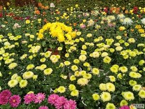 周末绵阳富乐山赏秋菊――见嫘祖故里元素