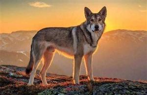 每日一测:4头狼,你觉得哪只是狼王?测你能否成为人上人