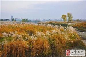 汉中天汉湿地公园一片金黄