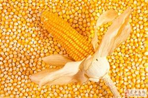建水玉米粒大量出售!!!