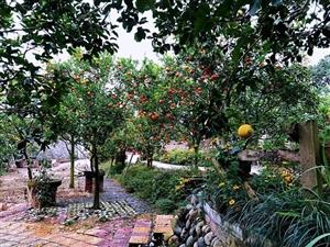 耕读园的橘子红了~~~来吧/摘下两个橘子/一个留给怀念/一个放在心上