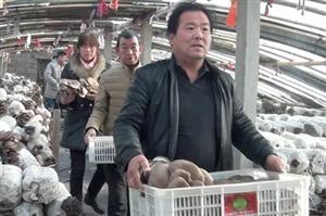 卫辉盆窑日产万斤优质蘑菇滞销,赔本也得卖,帮帮他们吧