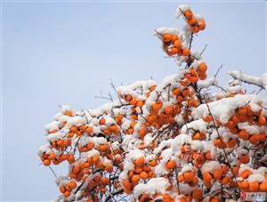 狼眼看世界 ――雪后的柿子
