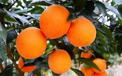 好消息!省里刚刚公布的这份名单,澳门威尼斯人游戏官网柑橘上榜!