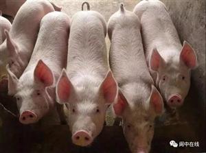 猪瘟传染人吗?猪肉可以吃吗?丰都爱吃猪肉的快看!