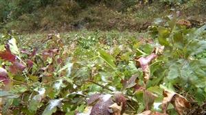 暨龙镇:发展中药材种植助农增收