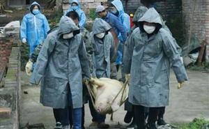 昨天!南溪一村民家19头肥猪被强制捕杀,只因.....