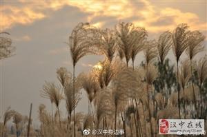 汉中天汉湿地公园芦苇