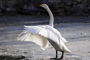 合阳故事――鹅泳村的传说