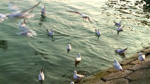 河鸥戏水,难得一见的丰都生态画卷!