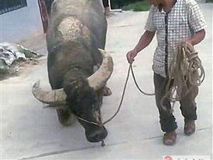 养了8年的老牛即将被卖,临行前老牛突然下跪,画面让人无比扎心