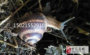光亮大蜗牛/法国蜗牛、白玉蜗牛(蜗牛养殖基地直供)