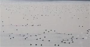 【视频】壮观!上万只大雁迁徙城西湖生态园湿地!