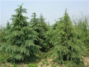 【西安树苗价格】西安雪松树苗出售|购买雪松树苗