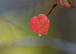 流泪的叶子