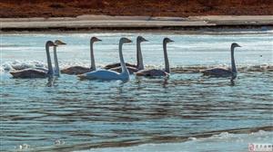 大凌河冬季上的天鹅