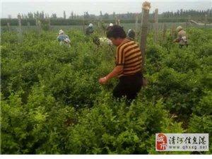 连庄镇西野庄:种植金银花,富了一村人