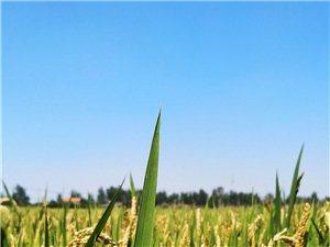 家�l稻田
