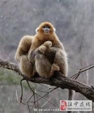 佛坪金丝猴在雪中抱团取暖