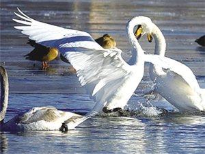 格尔木生态改善;大批天鹅飞来越冬