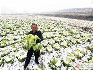 市郊菜农滞销白菜几万斤 双丰印务爱心采购帮脱困