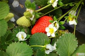 通许邸阁庞庄草莓熟了