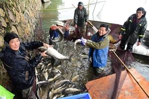 春节临近;鲜鱼俏销