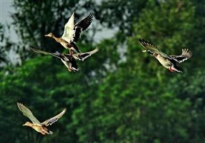 野性鸭子河的呼唤~珍惜吧,让鸟儿在我们的天上多飞一会!