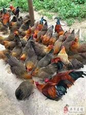 奉节黑乌鸡养殖技术;奉节附近哪有土鸡苗?鸡苗供应18315170777