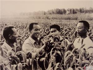 邹城老照片:上世纪80年代农业科技专家在试验田观察谷子长势情况!