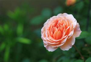 知道阜阳的市花吗? 答案月季  月季花